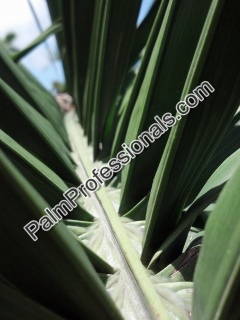 cold hardy queen palm frond leaf in houston texas