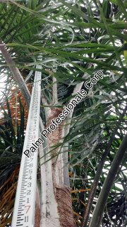 cold tolerant silver queen palm trees for sale in houston