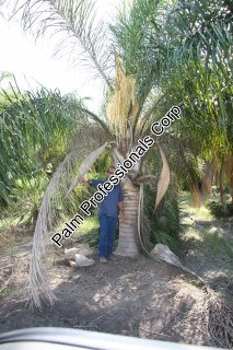 buy silver queen palm trees in houston texas