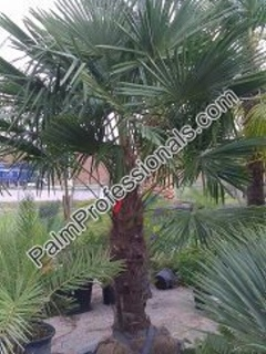 Windmill Palm Tree For Sale In Houston Texas Buy Cold